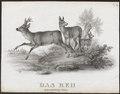 Cervus capreolus - 1700-1880 - Print - Iconographia Zoologica - Special Collections University of Amsterdam - UBA01 IZ21500027.tif
