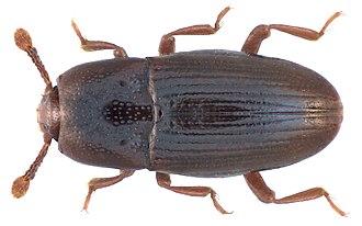 Cerylonidae - Cerylon fagi