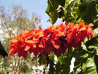 Warszewiczia coccinea - Double chaconia at the University of the West Indies, St. Augustine, Trinidad and Tobago