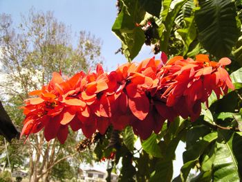 The Chaconia (Warszewiczia coccinea) is the na...