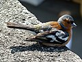 Chaffinch @ Portmeirion (9482885631).jpg