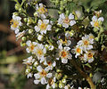 Chamaebatiaria millefolium fernbush flowers close.jpg