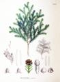 Chamaecyparis obtusa SZ123.png