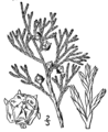 Chamaecyparis thyoides drawing.png