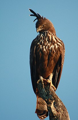 Changeable Hawk Eagle Bandipur.jpg