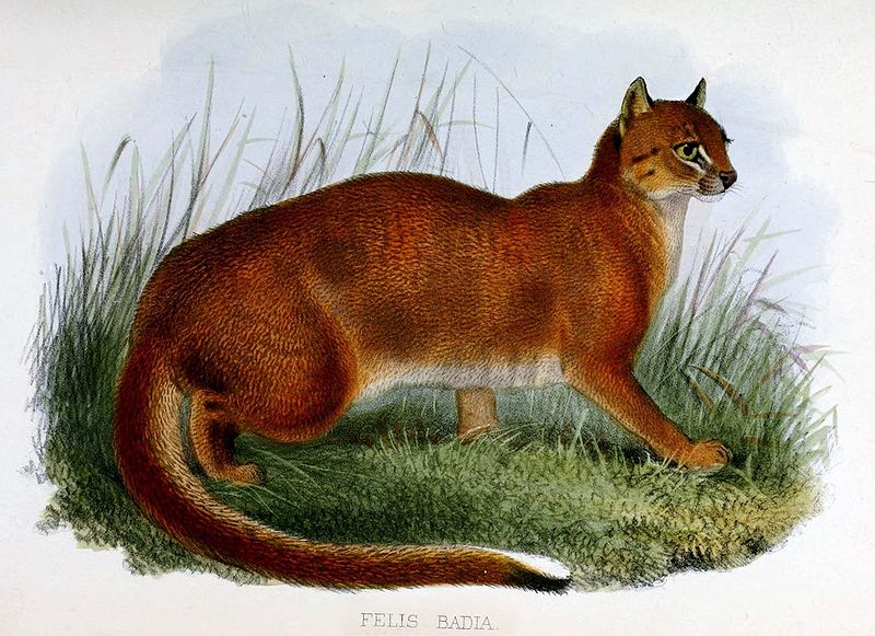 """""""Chat Bai 1874"""" by Zoological Society of London - Proceedings of the general meetings for scientific business of the Zoological Society of London. Licensed under Public Domain via Wikimedia Commons - https://commons.wikimedia.org/wiki/File:Chat_Bai_1874.jpg#/media/File:Chat_Bai_1874.jpg"""