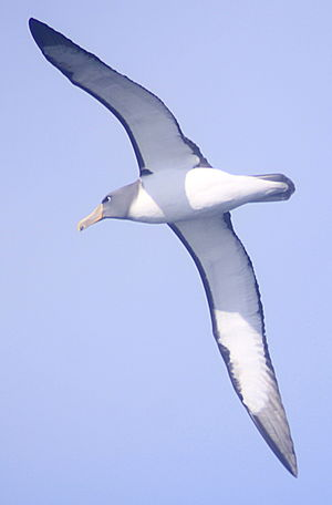 Chatham albatross - Eaglehawk Neck, Tasmania