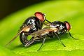 Chaval Brasil - Making little flies-Fazendo mosquinhas (by-sa).jpg
