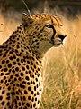 Cheetah (205821329).jpeg