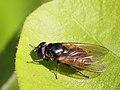 Cheilosia albitarsis (Syrphidae) - Weissfuss-Erzschwebfliege (10541259293).jpg