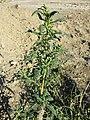 Chenopodium glaucum sl43.jpg