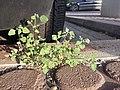 Chenopodium vulvaria sl13.jpg