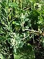 Chenopodium vulvaria sl68.jpg