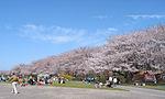Cherry blossoms at Miyagawa-Tsutsumi01.jpg