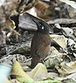 Chestnut-backed Antbird (6900675946).jpg