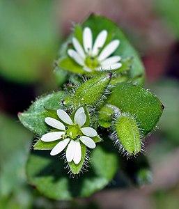 Flor en antesis y prefloración con los sépalos peludos cerrados.