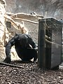 Chimpanzee using enrichment box.jpg