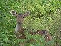 Chital (Spotted Deer).jpg