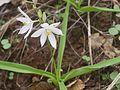 Chlorophytum tuberosum (4693082237).jpg