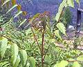 Choerospondias axillaris.jpg