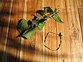 Chromolaena odorata Un bracelet est fabriqué avec une tige d'herbe du Laos.jpg
