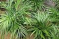 Chrysalidocarpus lutescens 3zz.jpg