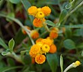 Chrysocephalum apiculatum 'Flambe Orange' Flower Closeup 1496px.jpg