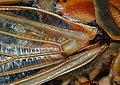Cicada (5079731585).jpg