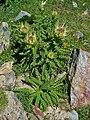 Cirsium spinosissimum 001.JPG