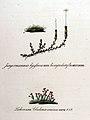 Cladonia coccinea — Flora Batava — Volume v11.jpg