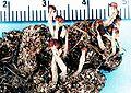 Cladonia peziziformis.jpg