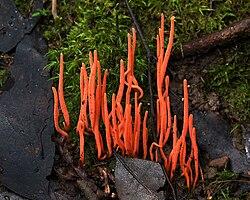 definition of clavariaceae