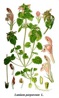 Cleaned-Illustration Lamium purpureum