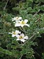 Clematis phlebantha (20767746574).jpg