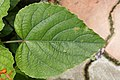 Clerodendrum speciosissimum 3041.jpg