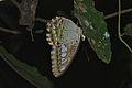 Clipper (Parthenos sylvia) sleeping (8112528898).jpg