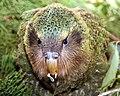 Close up of kakapo chick (8528279129).jpg