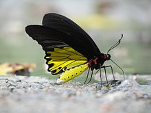 Close wing position of Troides helena Linnaeus, 1758 – Common Birdwing (Male).jpg