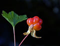Cloudberry (2772458526).jpg