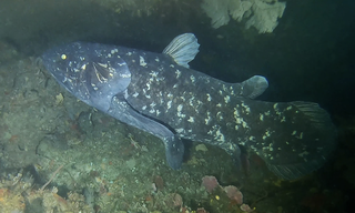 Coelacanth Order of lobe-finned fishes from the western Indian Ocean