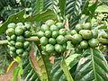 Coffee Plant Uganda.jpg