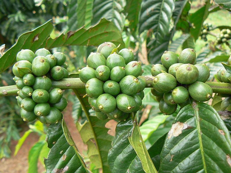 Fichier:Coffee Plant Uganda.jpg