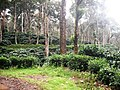 Coffee Plantation @ Nelliampathy - panoramio (1).jpg