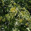 Collectie Nationaal Museum van Wereldculturen TM-20029627 Bladeren en vruchten van de stranddruif Aruba Boy Lawson (Fotograaf).jpg