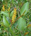 Colliguaja odorifera, flower (8629451088).jpg