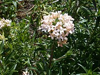 Collomia grandiflora 20070810-1320-134
