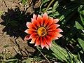 Colorful flower (AP4P1111 1PS) (28965701654).jpg