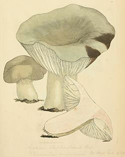 Coloured Figures of English Fungi or Mushrooms - t. 36.jpg