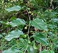 Colubrina asiatica (4767062224).jpg