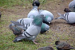 240px columba livia baltasound shetland 1